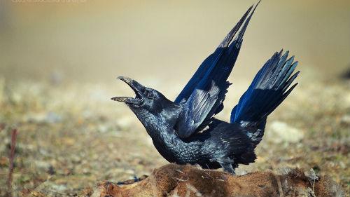 Убить ворону во сне является символичным отображением победы над обстоятельствами наяву.
