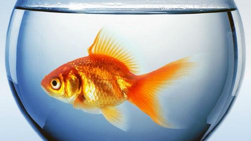золотая рыбка 😫💤 Снится.ру | Самый полный сонник